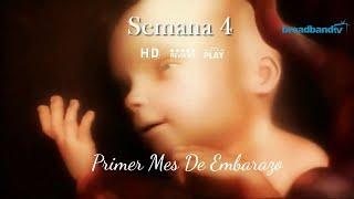 Primer Mes De Embarazo (1-4)   Primeros Síntomas De Embarazada