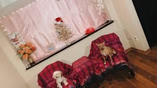 Chorkie Puppies Videos