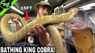 BATHING MASSIVE KING COBRA!!!