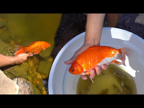 Transporting Abused GOLDFISH To There DREAM HOME!!!