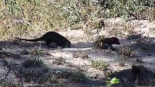 Djuma: Dwarf Mongoose group - 13:05 - 05/23/20