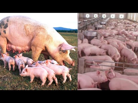 , title : 'Young Millionaire Making Money From Pig Farming| BOB's Success Story| Profitable Pig Farming.