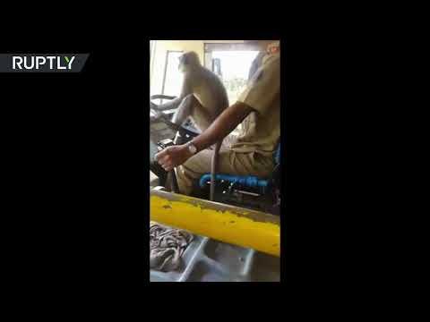 بالفيديو - قرد يقود حافلة على متنها 30 راكباً
