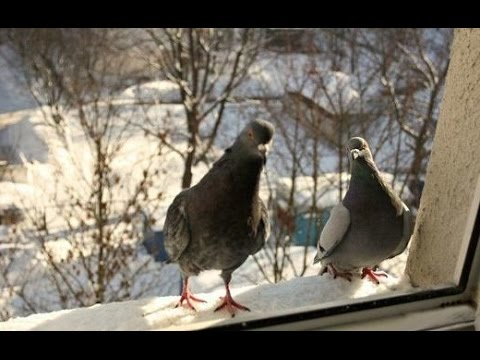 If a pigeon or tit flew to the balcony, take