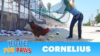 A Rooster Escapes From A Slaughterhouse - The End Of The Story Is UNREAL!