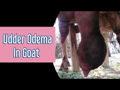 , title : 'Mastitis in Goat | Udder odema | one teat Mastitis | بکری کا ایک تھن خراب کامیاب علاج