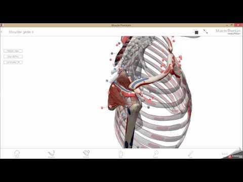 Mięśnie nóg anatomia obraz do masażu