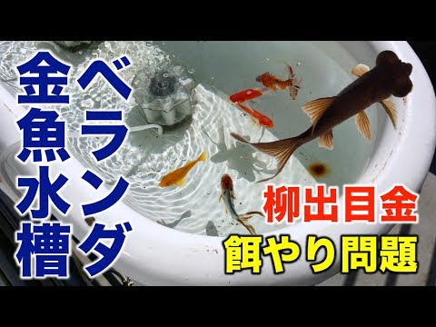 ベビーバスでベランダ金魚水槽。柳デメキンのエサ問題勃発!