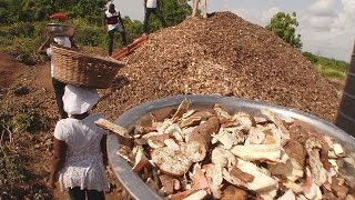 Ghana : comment valoriser les déchets issus de la transformation du manioc ?