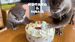 カワウソコタローとハナ スペシャルクリスマスケーキ登場! Otter Kotaro&Hana Special Christmas Cake