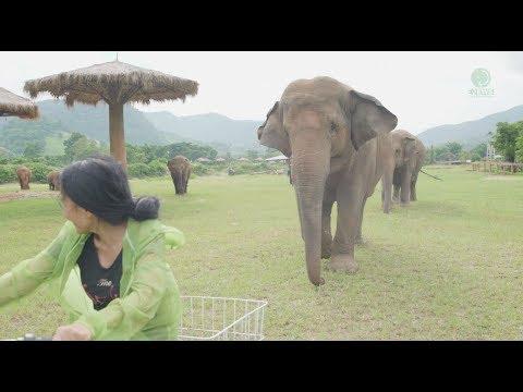 Elephant Follows Her Favourite Human Everywhere