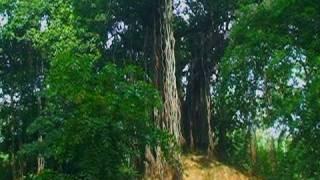 Banyan tree in Shantiniketan