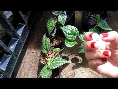 Cara gampang menanam daun sirih