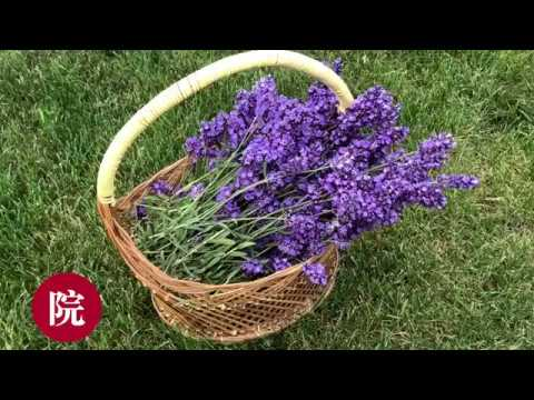 , title : '【彬彬有院】花 •薰衣草收割,剪枝以及保存 2018// How to harvest and pruning  Lavender