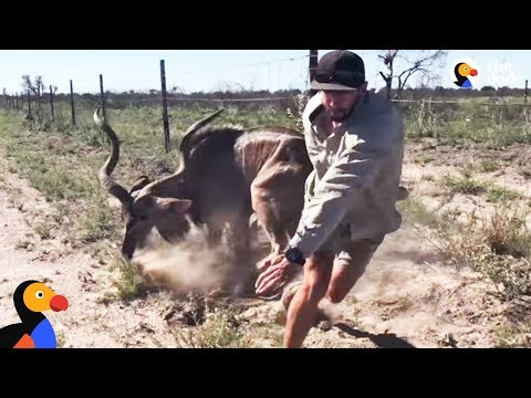 Brave Guy Rescues Kudu in Dangerous Wild Animal Rescue | The Dodo
