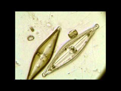 Les mikroparasites