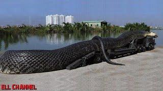 15 ყველაზე გრძელი და დიდი სახეობის გველი