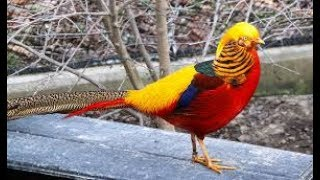Most Colourful, Attractive Bird  -   Golden Pheasant
