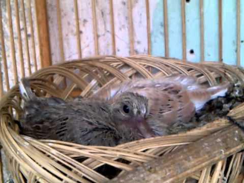 Video peternakan aneka jenis dove dengan kandang kecil di pawiro bird farm