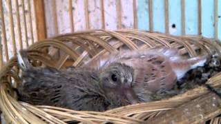Peternakan Aneka Jenis Dove Dengan Kandang Kecil Di Pawiro Bird Farm