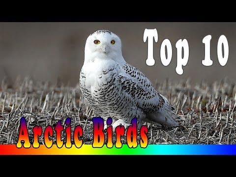 Top 10 Amazing Arctic Birds