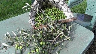oliven, chemie in den Olivenfabriken,eingelegte Oliven,Olives, chemistry?Toscana