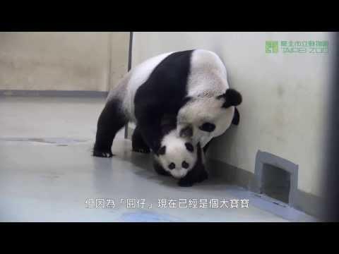 Cách Panda mẹ đưa Panda con về chuồng