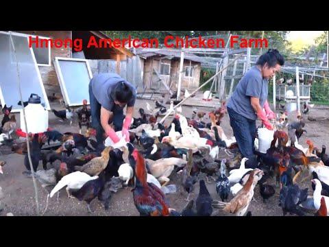 Hmong American Chicken Farm/Hmoob meskas tu Qaib tau Coob Tiag2