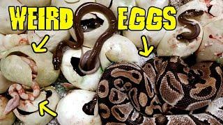 Video Weird Eggs Full of What? MP3, 3GP, MP4, WEBM, AVI, FLV Agustus 2019