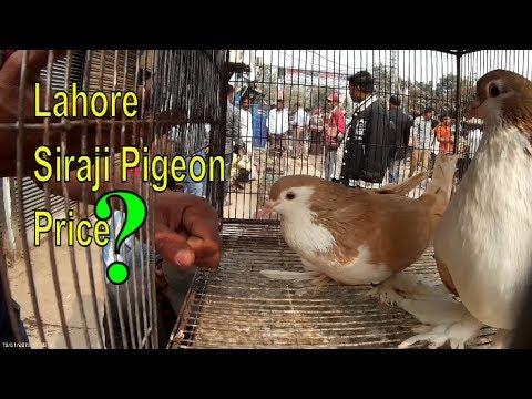 Lahore big siraji pigeon price / fancy kabootar video Bangladesh
