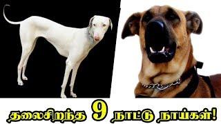 இந்தியாவின் தலைசிறந்த 9 நாட்டு நாய்கள்! | 9 Indian Dog Breeds You Never Knew About