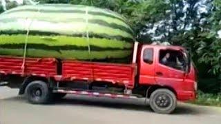 Largest Watermelon? World's Largest Fruit