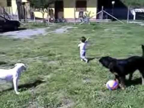 Dogo argentino \