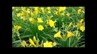 Best Perennials, Hemerocallis Stella De Oro (Daylily)