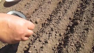 """Семена лука Халцедон урожай 2020 года от компании ФХ """"ПрофСемена"""" - видео"""
