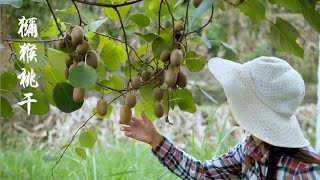 Picking kiwifruit for dried fruit in high mountains