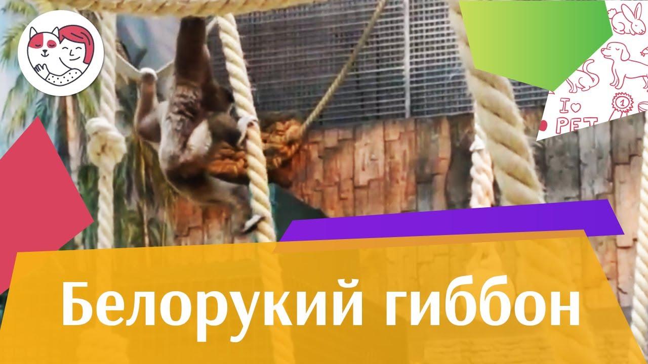Белорукий гиббон Внешний вид на ilikepet