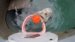 Basketball star sea otter Eddie turns 20