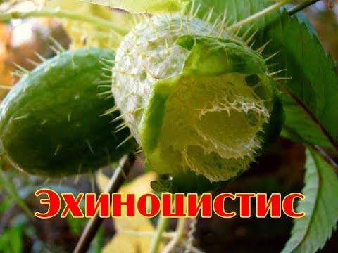 Эхиноцистис  Декоративная лиана