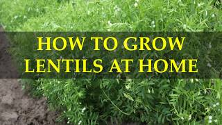 HOW TO GROW LENTILS AT HOME