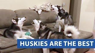 animale faze caini Husky