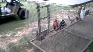 bruce barnett gamefowl farm - Kênh video giải trí dành cho thiếu nhi