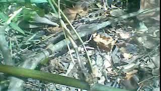 Penemuan Bambu Petuk Langka Unik Antik Di Hutan