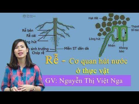 Rễ - cơ quan hút nước của thực vật – Sinh học 11 – cô Nguyễn Thị Việt Nga