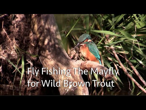 How to fish the May Fly  Fly fishing The River Otter for Wild Brown Trout (small stream fly fishing)