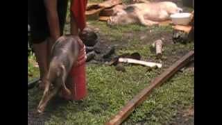 preview picture of video 'How to kill a pig,Samoan style!!'