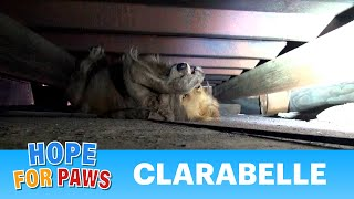 A scared Golden Retriever panics during this Hope For Paws rescue. - Video Youtube