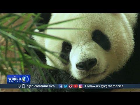 Pandas   CGTN America