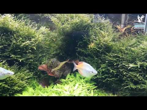 ปลาเรนโบว์สองสี คลินิคปลาสวยงาม