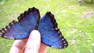 BLUE MORPHO BUTTERFLY! Incredible colour!
